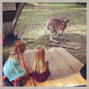 Wild Kangaroos share the bushland with campers