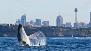 Where-to-go-whale-watching-in-sydney
